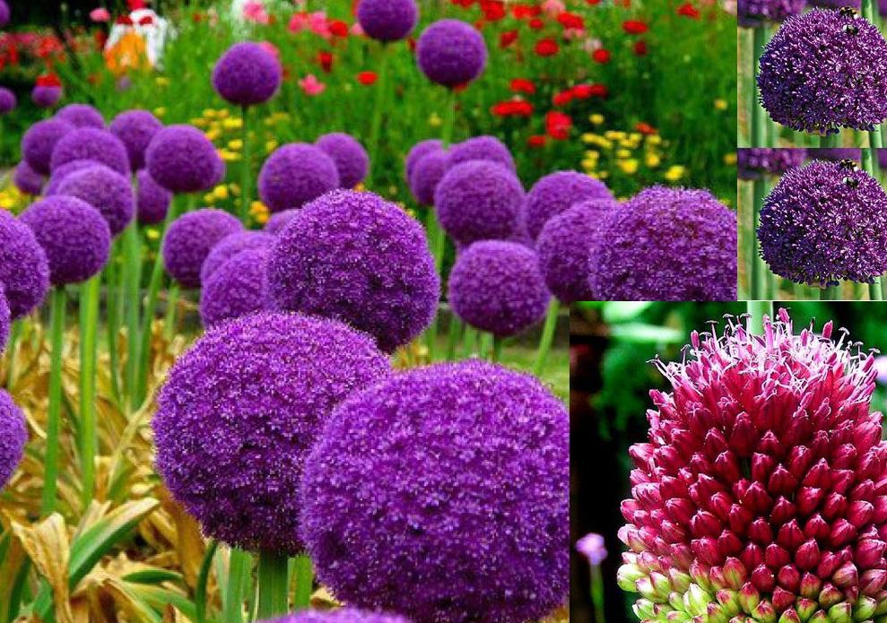 Bộ đôi Allium Cepa và Centella asiatica & Tác dụng hiệp đồng trên Thâm – Sẹo – Viêm nang lông.