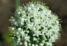 Tinh chất hành tây (Allium Cepa) - Chứng minh lâm sàng trên vết sẹo mới và sẹo lâu năm