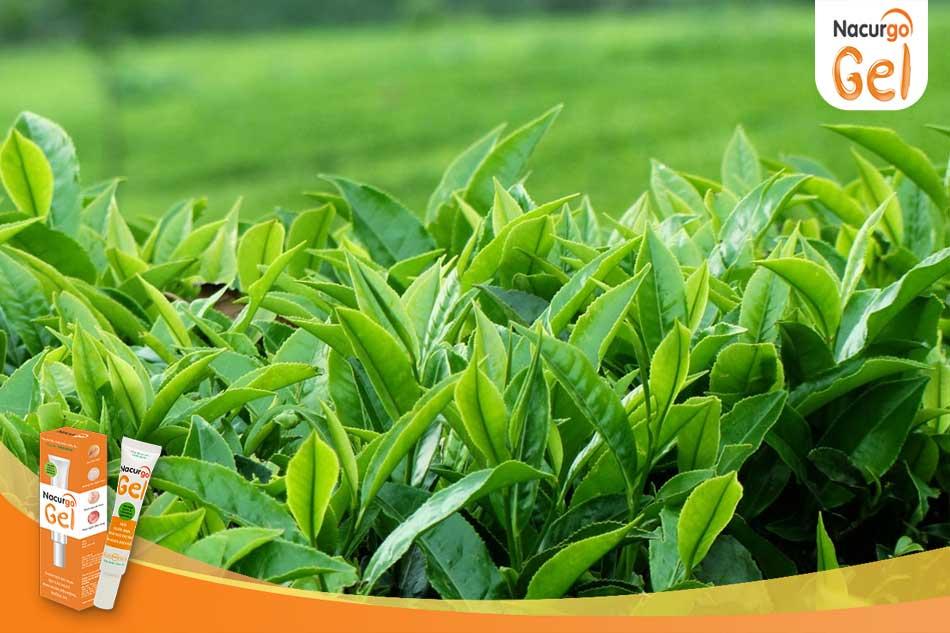 Trị mụn hiệu quả bằng lá trà xanh